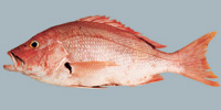 Fish/2-Blackfin-Snapper.jpg