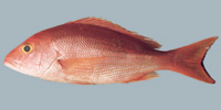 Fish/3-Silk-Snapper.jpg