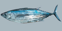 Fish/54-Skipjack-Tuna.jpg