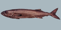 Fish/61-Oilfish.jpg