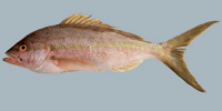 Fish/7-Yellowtail-Snapper.jpg