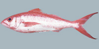 Fish/8-Queen-Snapper.jpg